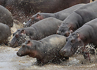 Hippos on the Move1  Kenya 2015