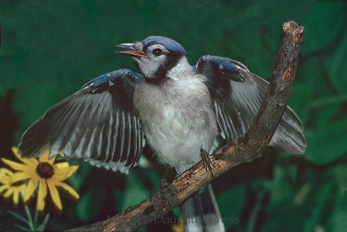 Juvenile blue jay fledgling