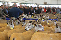 2019 Border Union Kelso Ram Sales <br /> ©Tim Scrivener Photographer 07850 303986<br />      ....Covering Agriculture In The UK....