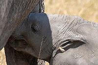 A baby African Elephant, Loxodonta africana, approaches its mother to nurse in Serengeti National Park, Tanzania