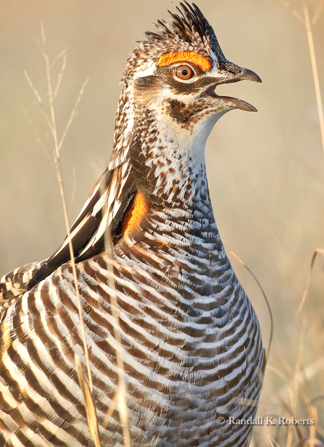 Greater Prairie Chicken male, Tympanuchus cupido, in lek near Grand Island, Nebraska.