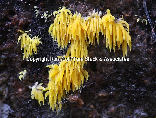 Clublike Tuning Fork Mushrooms (Calocera cornea). Santa Cruz Mountains. San Mateo Co., Calif.