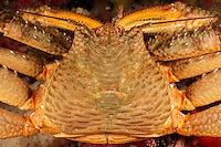 TA70599-D. Scaled Crab (Placetron wosnessenskii), grows to 3 inches across carapace, found to 365 feet, ranges from Alaska to Washington. British Columbia, Canada, Pacific Ocean.<br /> Photo Copyright &copy; Brandon Cole. All rights reserved worldwide.  www.brandoncole.com