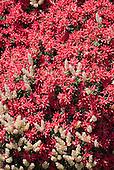 styphelia floribundis