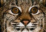 Portrait of a bobcat.
