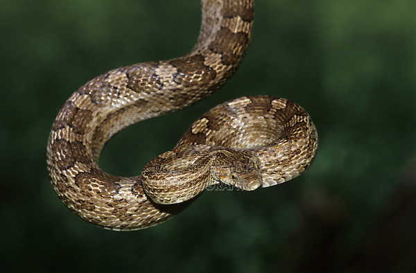 Great Plains Rat Snake, Elaphe guttata emoryi, adult, Lake Corpus Christi, Texas, USA