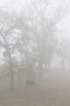 Cattle graves among the oak trees in the fog near Jackson, Calif.