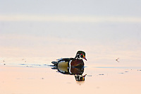 Wood DUCK (Aix sponsa) drake.  Pacific Northwest.  Winter.  Sunrise.