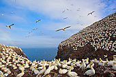Sulidae - Gannets and Boobies