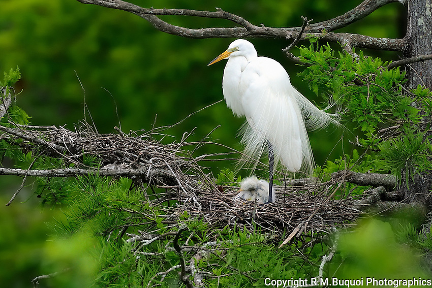 Great White Egret with chicks on its nest.