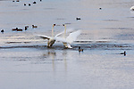 Trumpeter Swans fighting on Flat Creek in the National Elk Refuge, Wyoming.