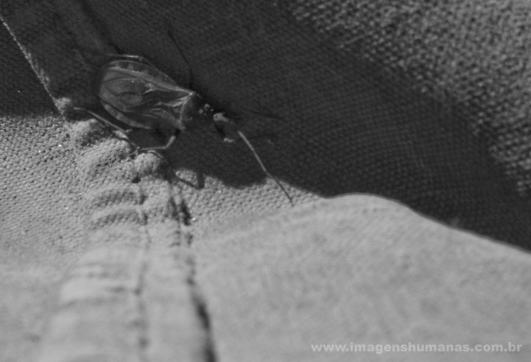Trypanosoma cruzi, - parasita que transmite o mal de chagas que na na América latina é conhecido popularmente pelos nomes de vinchuca, chupao, chinchorro, bandola, chinche, picuda o chirima. .Combate ao Mal de Chagas feito pela Brigada Provincial de Luta contra o Mal de Chagas em Santiago Del Estero , Argentina