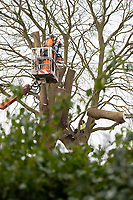 Pictured: A crew use a cherry picker to approach a climate protester who chained himself onto a tree in Cardiff, Wales, UK.<br /> Re: A man was arrested following a stand-off between developers and climate change protesters over the felling of two 150-year-old trees in the Canton area of Cardiff, Wales, UK.<br /> More than 100 protesters gathered at Suffolk House on Sunday to stop the lime and copper beech trees being chopped down.<br /> An Extinction Rebellion campaigner chained himself to one of the trees, but he was later lifted down.<br /> A local man, aged 49, was arrested on suspicion of aggravated trespass.<br /> South Wales Police said on Monday morning that he remained in custody.