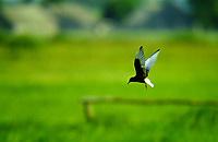 Trauerseeschwalbe, Trauer-Seeschwalbe, Flug, Flugbild, fliegend, Seeschwalbe, Seeschwalben, Chlidonias niger, black tern, La Guifette noire