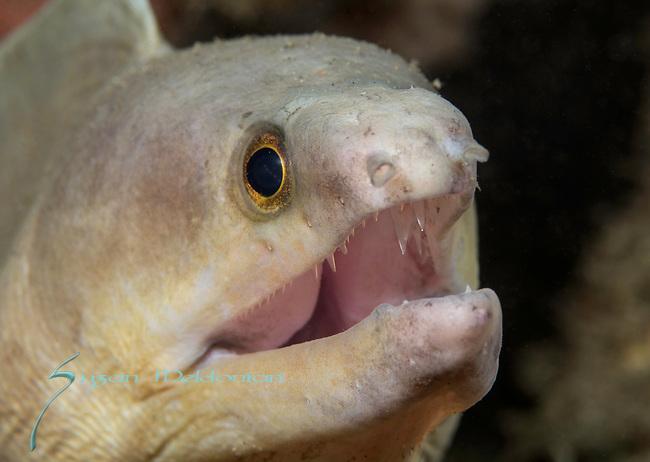 Albino Moray eel