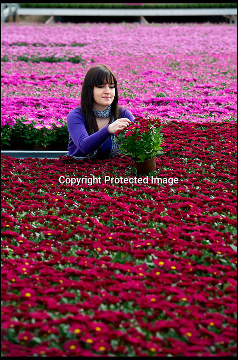 BNPS.co.uk (01202 558833)<br /> Pic: RachelAdams/BNPS<br /> <br /> A worker at Double H nursery in New Milton, Hampshire, inspects the potted chrysanthemums in preparation for the company's most intensive period - Mothering Sunday. Double H is the UK's biggest grower of chyrsanthemums, orchids and begonia, producing 300,000 plants each year. <br /> Pictured Marta Beben, 25, from Poland.