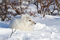01863-01109 Arctic Fox (Alopex lagopus) in snow in winter, Churchill Wildlife Management Area, Churchill, MB Canada