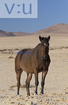 Horse, feral horse, Namibia