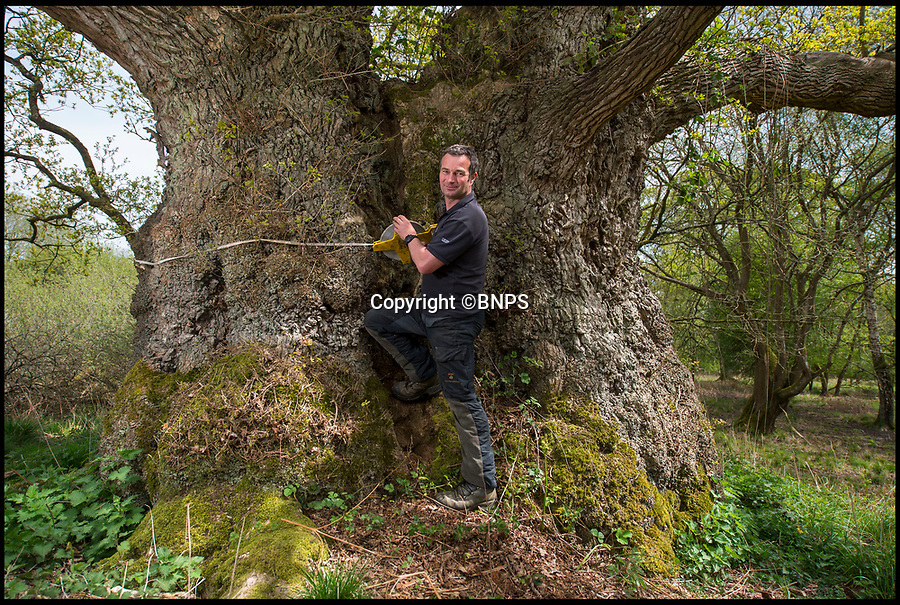 BNPS.co.uk (01202 558833)<br /> Pic: PhilYeomans/BNPS<br /> <br /> Head forester Nick Baimbridge measures a giant oak.<br /> <br /> Ancient oaks harvested for tiny acorns...<br /> <br /> Foresters at Blenheim Palace have painstakingly gathered 3,000 acorns in a bid to guarantee the future of Europe's largest gathering of ancient oak trees.<br /> <br /> They were picked up in High Park, a wooded area of the 2,000 acre Blenheim Estate in Oxon, Sir Winston Churchill's birthplace.<br /> <br /> It was originally created by Henry I as a deer park in the 12th century, with some surviving trees still standing 900 years on.<br /> <br /> The tiny oaks are currently being raised in glasshouses and small plantations and will eventually be planted across the estate.<br />  <br /> It is hoped the saplings, all direct descendants of the original trees, will help ensure the legacy of Blenheim's ancient oaks lives on for centuries to come.