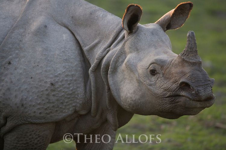 India, Kaziranga National Park, Indian rhinoceros or Great One-horned Rhinoceros or the Asian One-horned Rhinoceros (Rhinoceros unicornis) female; close-up;<br /> Found in Nepal and in Assam, India. It is confined to the tall grasslands and forests in the foothills of the Himalayas