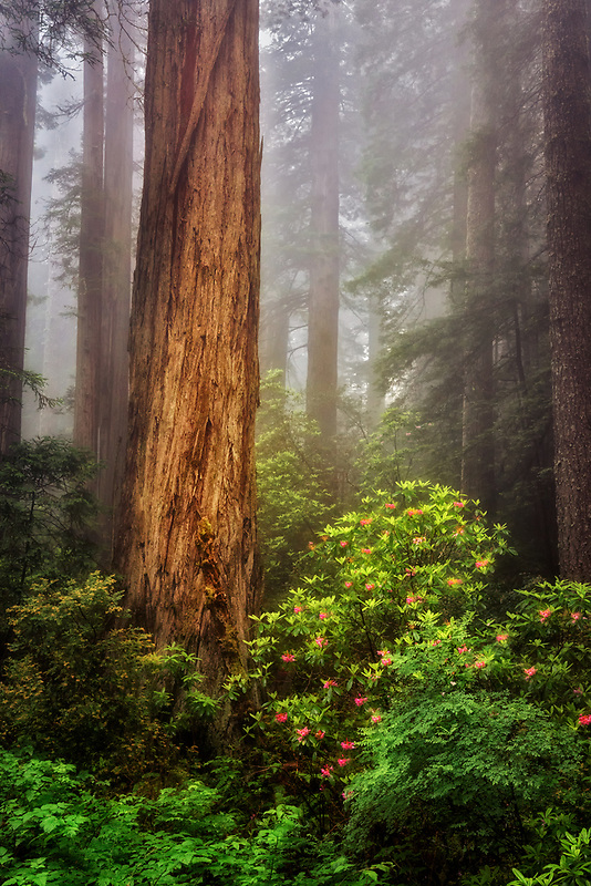Fog swirling through rhododendrons and redwoods. Redwood National and State Parks, CA