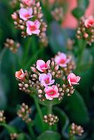 Flor Calancoê (Kalanchoe blossfeldiana) SP. Foto de Juca Martins.