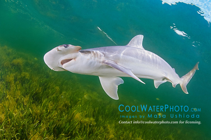 bonnethead shark, Sphyrna tiburo, Little Card Sound, Biscayne Bay, Key Largo, Florida, USA, Atlantic Ocean