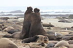 Northern elephant seal bulls fight in harem at Ano Nuevo State Park