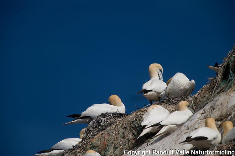 Havsuler på Gjesværstappan---- Northern Gannets at Gjesværstappan