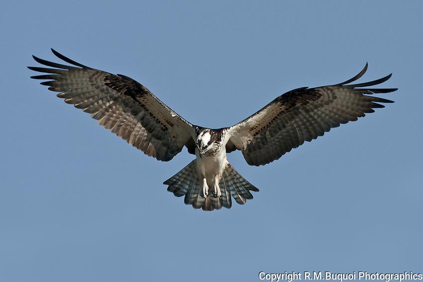 Osprey Hovering