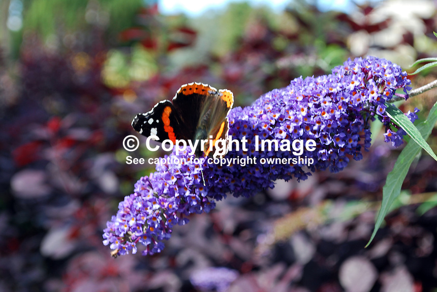 Red Admiral butterfly photographed on a Buddleja bush not inappropiately named the butterfly bush. This butterfly is common throughout Britain and Ireland. In northern Europe, it is one of the last butterflies to be seen before winter sets in.  2011080049.   Copyright Image from Victor Patterson, 54 Dorchester Park, Belfast, United Kingdom, UK.  Tel: +44 28 90661296..For my Terms and Conditions of Use go to http://www.victorpatterson.com/Victor_Patterson/Terms_%26_Conditions.html