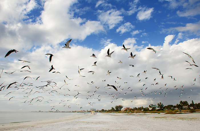 Black Skimmers in Florida - Relaxing on the beach, flying in flocks and doing what they do best ... skimming!
