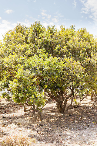 Pistacia Lentiscus tree, also known as the Mastic tree, Chios, Greece <br /> CAP/MEL<br /> &copy;MEL/Capital Pictures /MediaPunch ***NORTH AND SOUTH AMERICA ONLY***