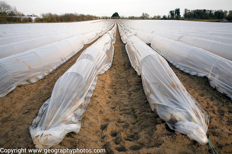 Plastic sheeting cloches protecting early vegetable crop in field, Hollesley, Suffolk, England