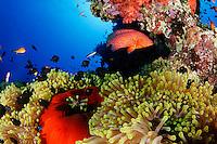Heteractis magnifica, Dascyllus trimaculatus, Cephalopholis miniata, Korallenriff mit Prachtanemone, Dreifleck Preussenfisch und Juwel Zackenbarsch, Coral reef with magnificent sea anemone,  Threespot Damselfishes and Jewel Grouper or Coral hind,  Abu Fandera, Rotes Meer, Süd Ägypten, Red Sea, South Egypt