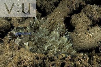Rabbitfish ,Siganus,, Fiji.