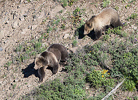 I saw the famed mother and daughter grizzly pair nicknamed Raspberry and Snow near Yellowstone Lake a few times on this trip. The sow finally kicked her cub out (a year later than normal) soon after the trip was over.