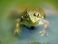 Happy bullfrog, Rana catesbeiana, sitting in a garden pool with a large mosquito in front of her perhaps for lunch.