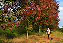 14/09/14 <br /> <br /> Anna Powles walks her dog, Maisie, through the maple tree plantation at The Canadian Memorial, Bramshott, Hampshire.<br /> <br /> Nineteen years ago hundreds of maple tree saplings were planted to commemorate fallen Canadian soldiers. This year, as the trees begin to reach maturity, their spectacular autumn hues are putting on a stunning show.<br /> <br /> The trees were planted to replace 219 sycamore trees first planted at Bramshott, Hampshire close to where 418 Canadian servicemen died in the First World War. <br /> <br /> The original trees, that lined the A3, London to Portsmouth road, became unsafe and were felled in the late 1980s.<br /> <br /> Many Canadian soldiers were based at barracks in Bramshott during both wars. A hospital at the barracks treated wounded soldiers returning from The Western Front. 318 of those who succumbed to their injuries or died from the Spanish Flu, were buried in St Mary&rsquo;s Church in Bramshott.<br /> <br /> All Rights Reserved - F Stop Press.  www.fstoppress.com. Tel: +44 (0)1335 300098