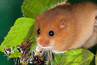 Haselmaus, klettert und frisst zwischen Brombeere, Hasel-Maus, Muscardinus avellanarius, hazel dormouse, common dormouse, Schläfer, Schlafmäuse, Bilche, Bilch, Gliridae, dormice