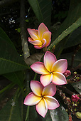 Mauritius. Frangipani flowers.