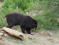Indian black bear roaming near bushes of forest