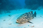 Gardens of the Queen, Cuba; a Goliath Grouper resting on the sandy bottom, mouth open