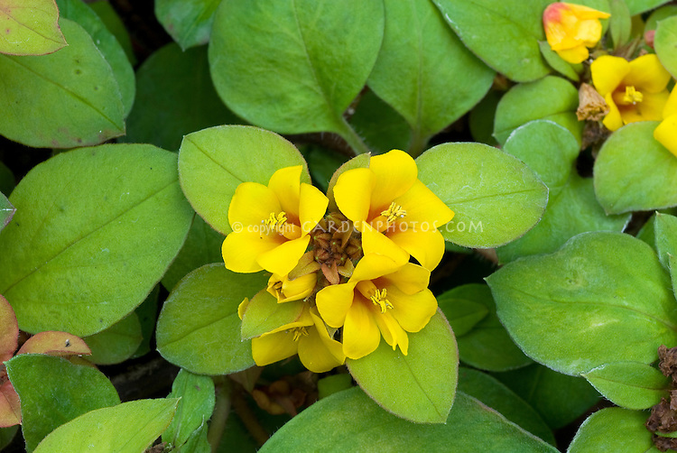 Lysimachia procumbens in yellow blooms