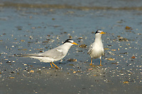 581690002 a wild breeding pair of least terns sterna antillarum stand on the shoreline at boca chica beach on the south texas shore
