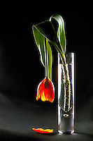 Wilted Flower, Dying Red Tulip drooping in Glass Vase against Black Background