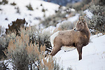 Bighorn Sheep (Ovis canadensis) female in winter, Gardiner, Yellowstone National Park, Montana