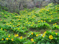 Balsamroot wildflowers. Columbia River Gorge National Scenic Area. Oregon