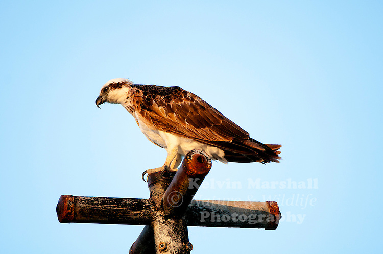Osprey (Pandion haliaetus), sometimes known as the sea hawk, fish eagle, river hawk or fish hawk, is a diurnal, fish-eating bird of prey. It is a large raptor, reaching more than 60 cm (24 in) in length and 180 cm (71 in) across the wings. It is brown on the upperparts and predominantly greyish on the head and underparts. Image taken at Green Island off the coast of Cairns, Far - North Queensland - Australia.