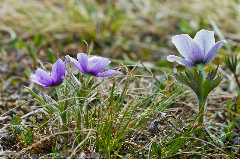 Early spring blooming Purple anemone wildflower flower on the tundra, Arctic National Wildlife Refuge, Alaska